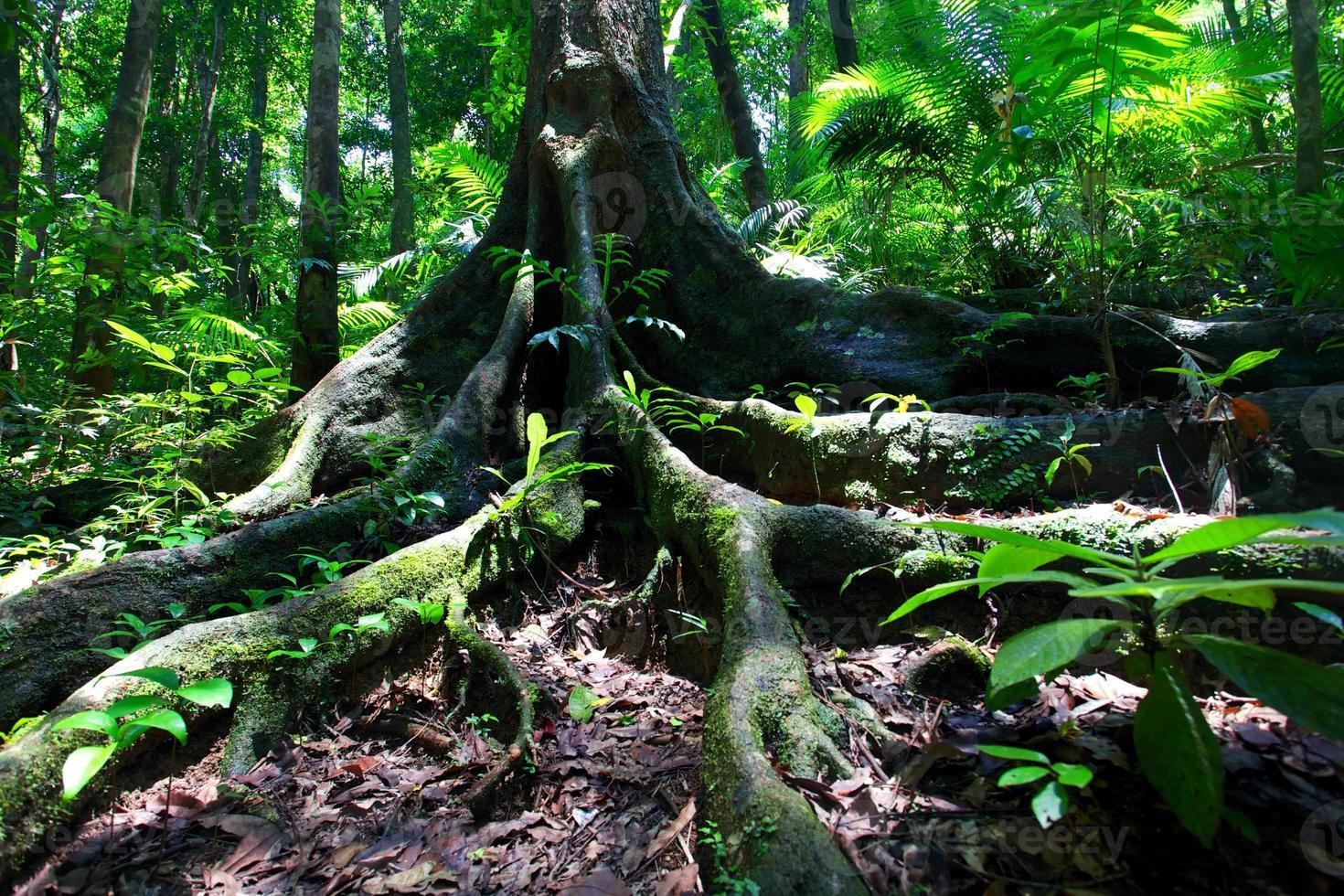 regenwoud boomwortels bij Mossman Gorge foto