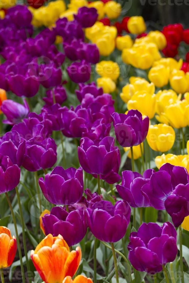 bed van tulpen foto