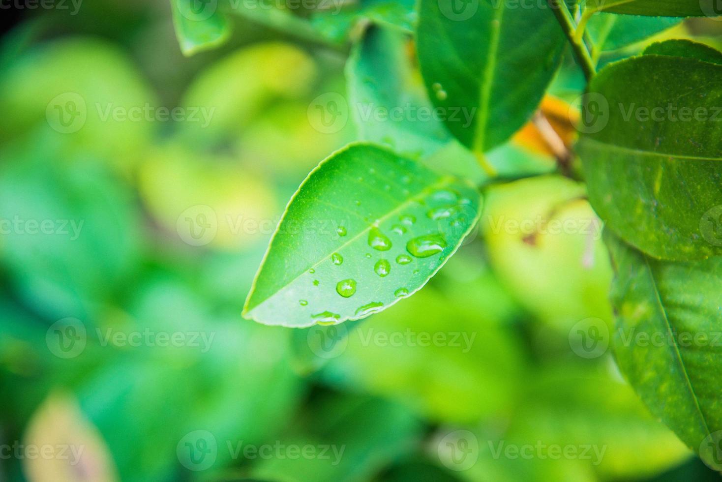 bladeren van de citroen foto