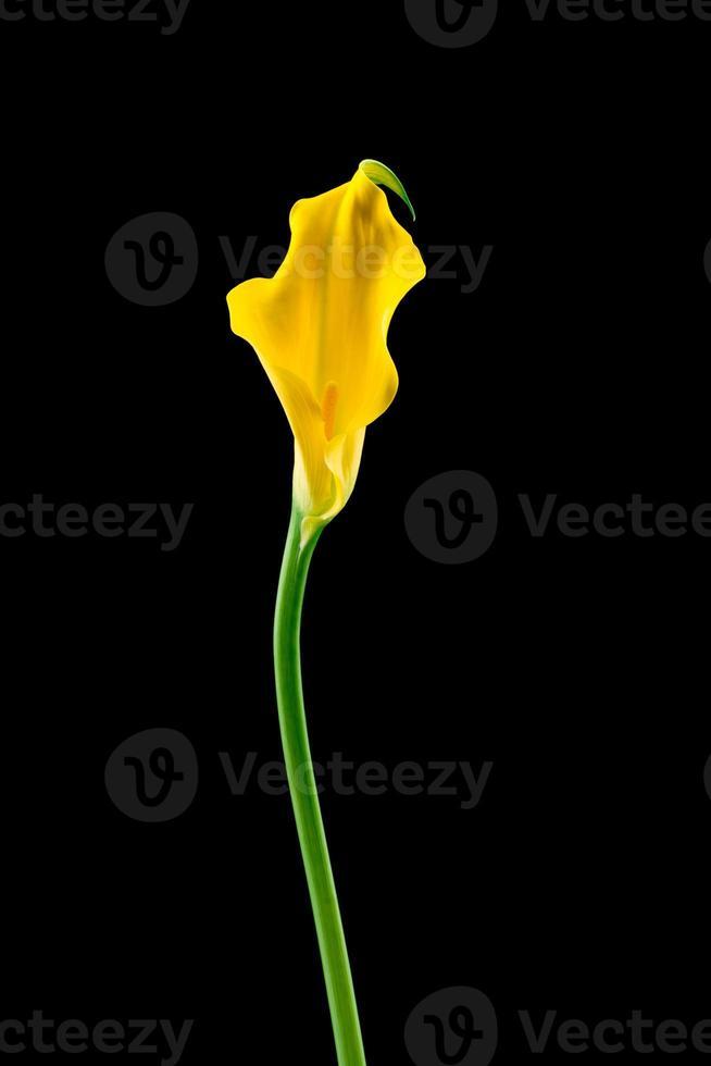 calla bloem foto