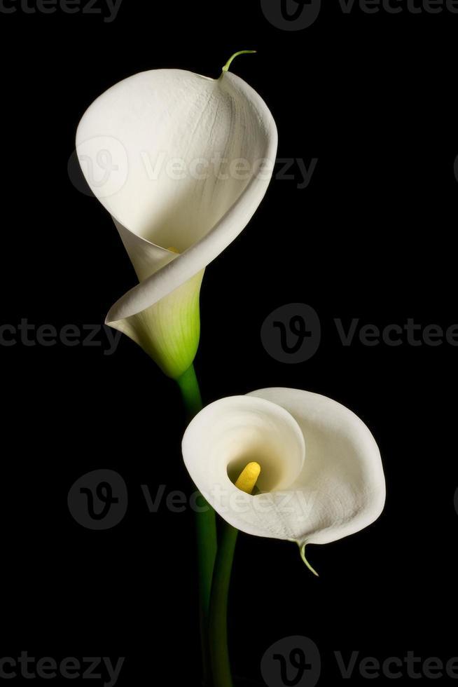 paar witte calla lelie op een zwarte achtergrond foto