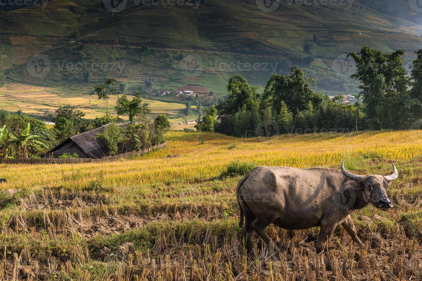 buffels en prachtig rijstterras in sapa, vietnam foto