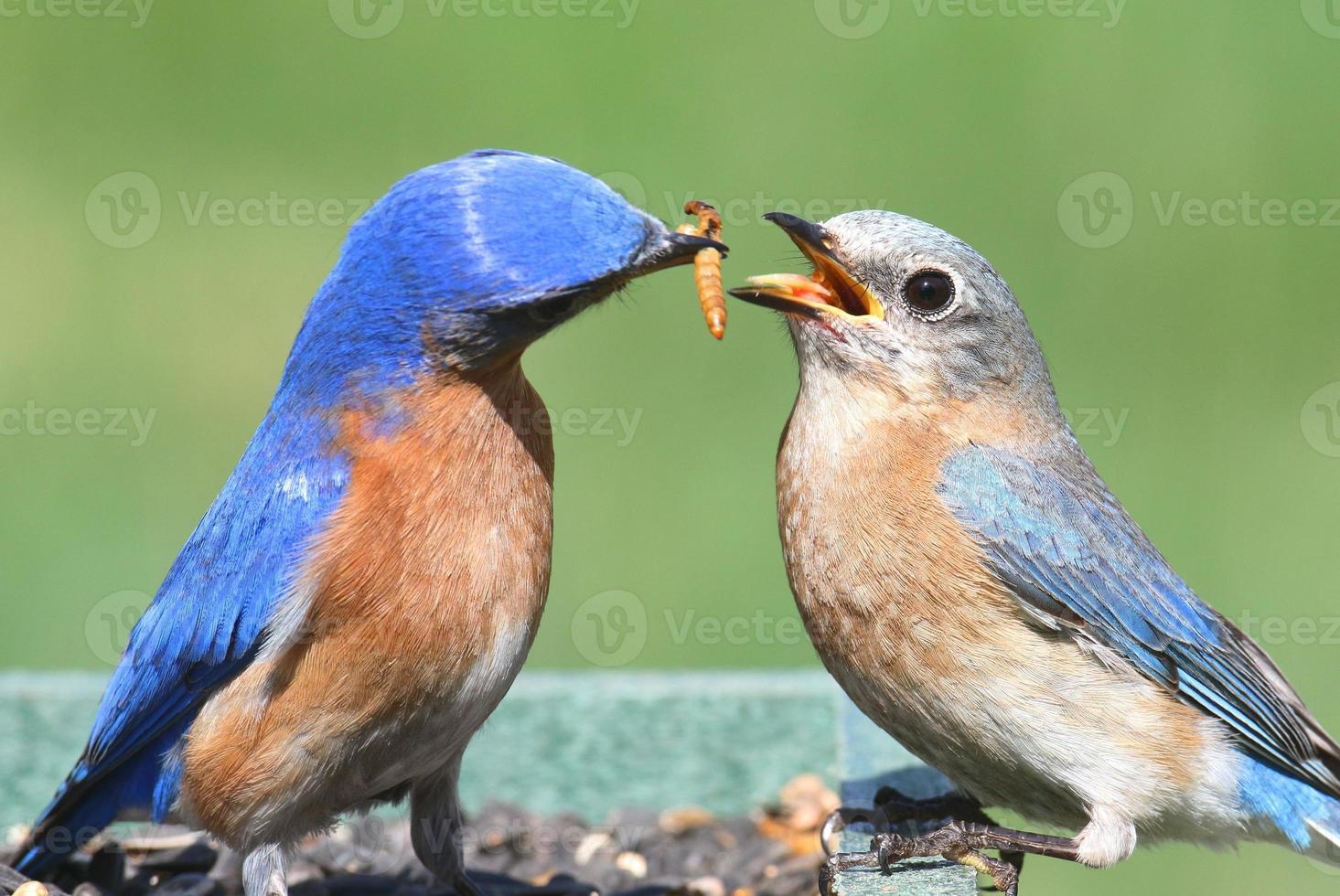 mannelijke en vrouwelijke oostelijke bluebird foto