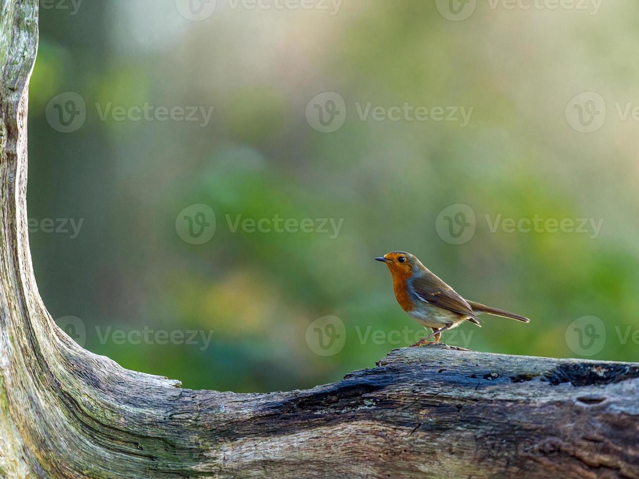 mooie roodborst (erithacus rubecula) foto
