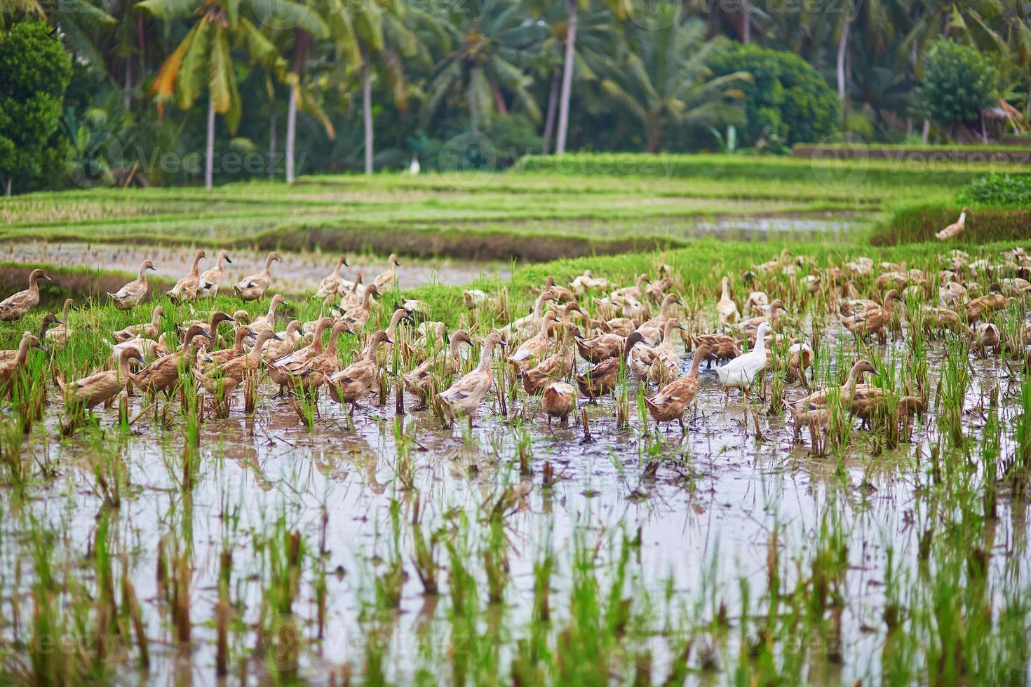 eenden op rijstvelden in de buurt van Ubud, Bali, Indonesië foto