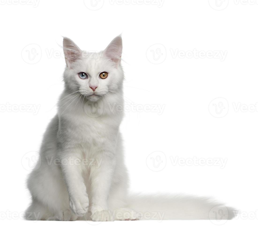 portret van Maine Coon Cat, 5 maanden oud, zittend foto