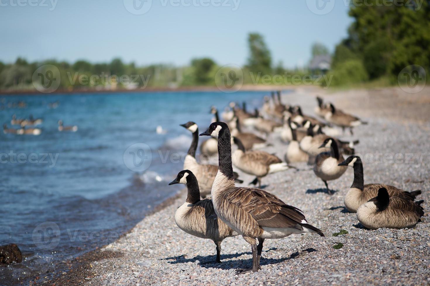 ganzen die zich op het strand bevinden foto