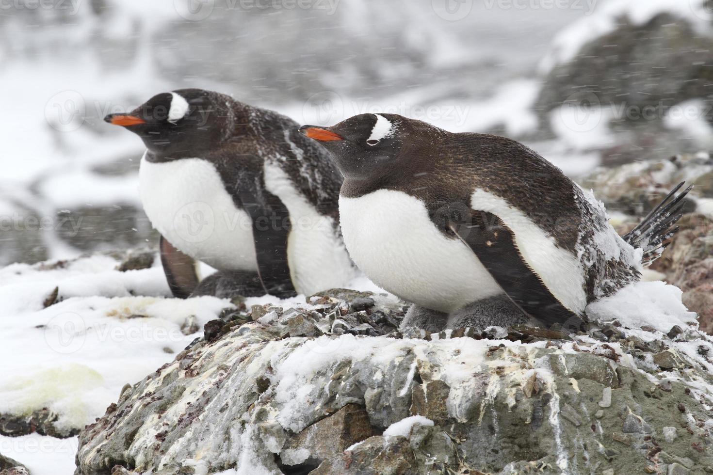twee ezelspinguïns in de sneeuw 1 foto