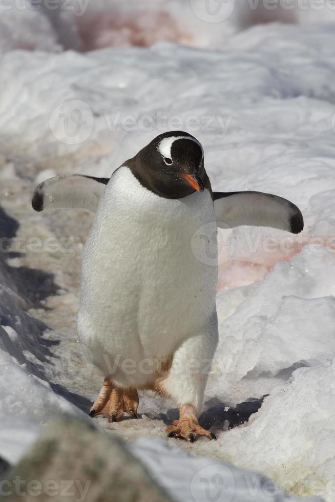 Ezelspinguïn wandelen op een pad 1 foto