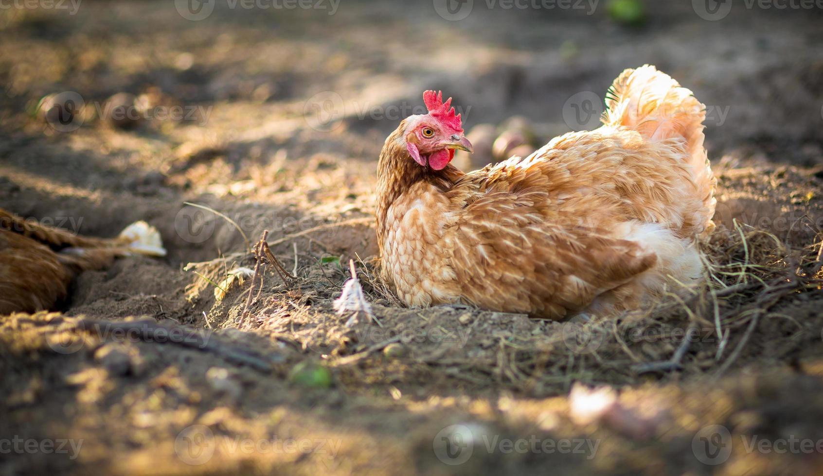 kip in een boerenerf (gallus gallus domesticus) foto