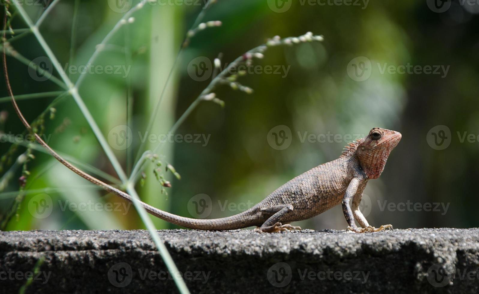 kleine draak. hagedis in de natuur, foto