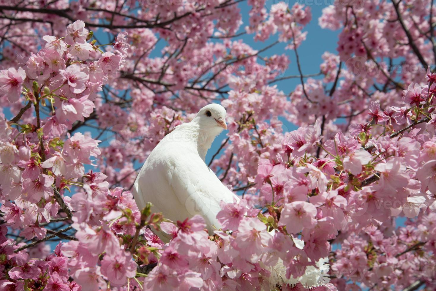 duif en kersenbloesem foto