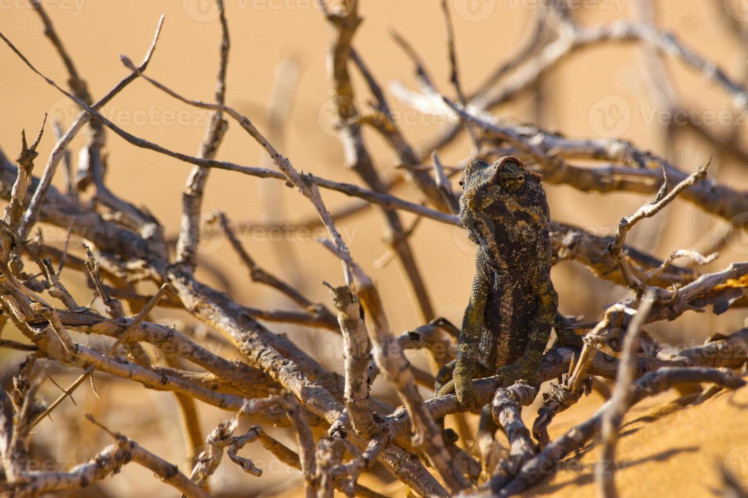 namaqua kameleon foto