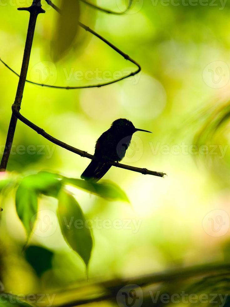 de rufous-tailed kolibrie (amazilia tzacatl) foto