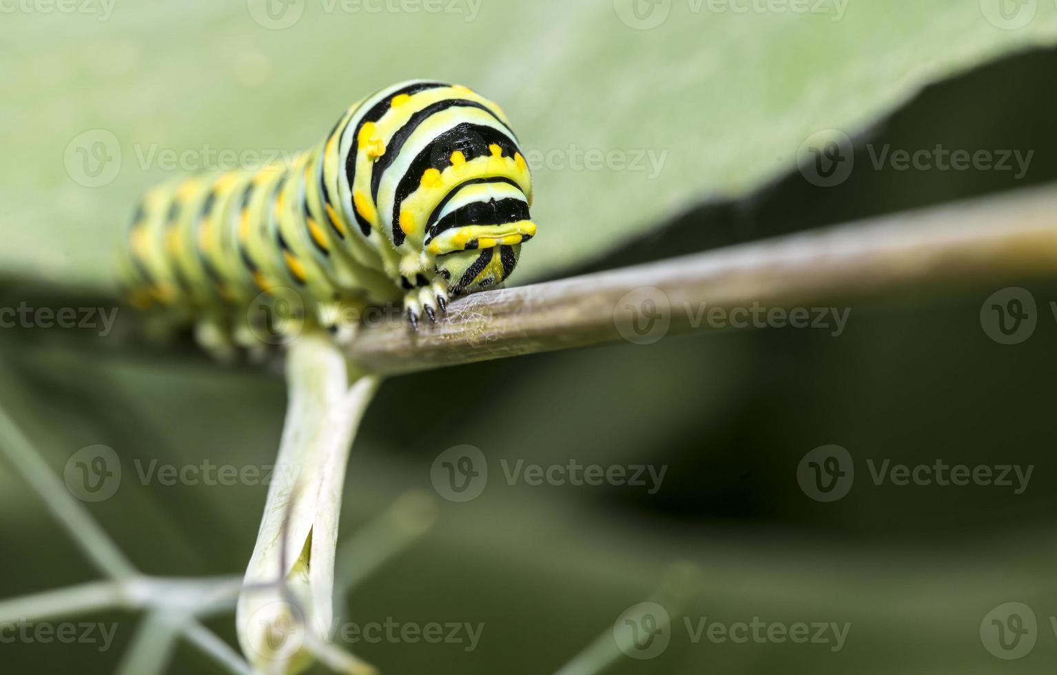 rups van de monarch, larvale, lepidoptera foto