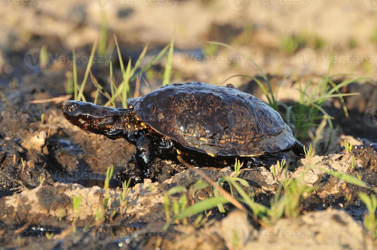 schildpad met aardolie foto