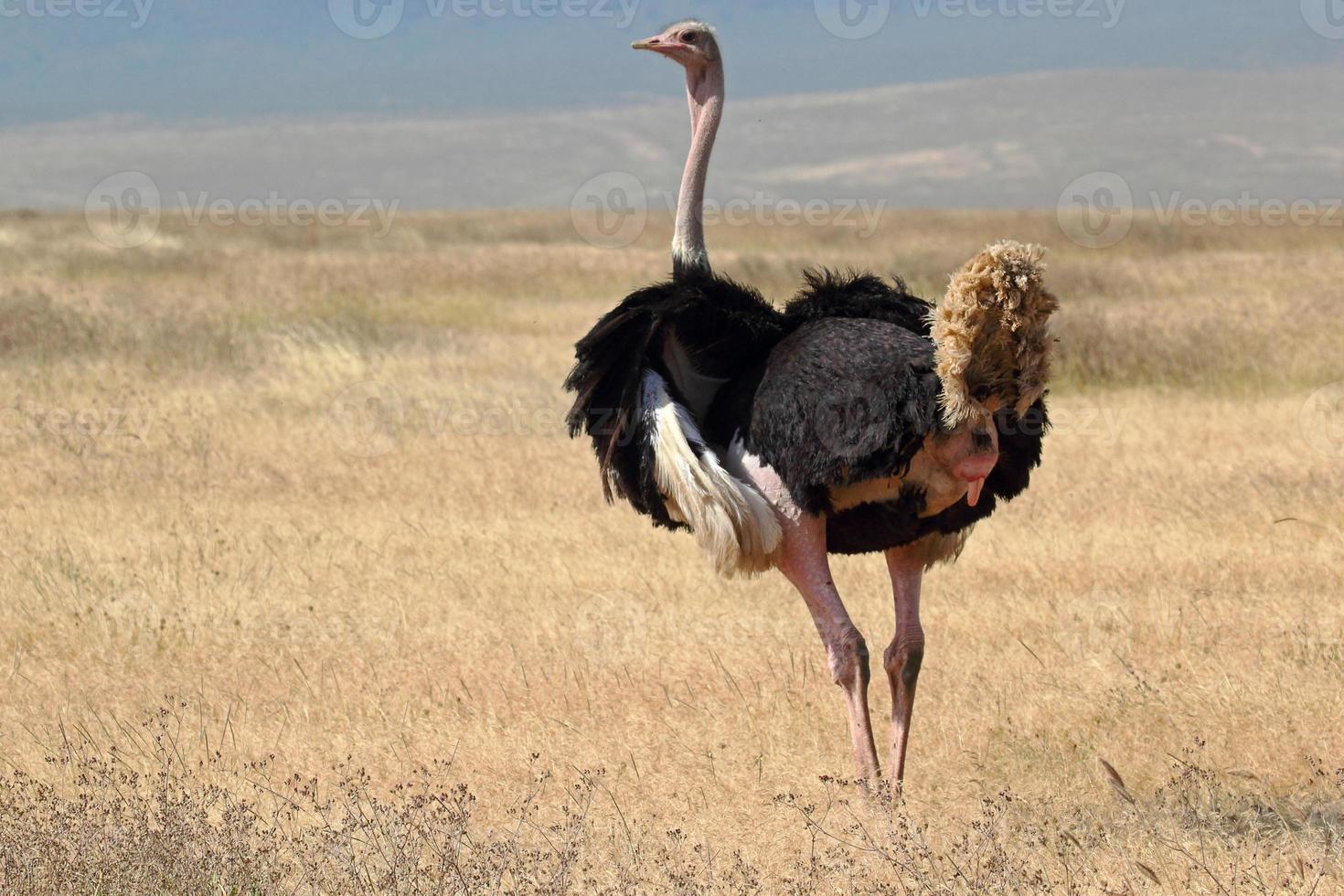 mannelijke struisvogel rondkijken foto