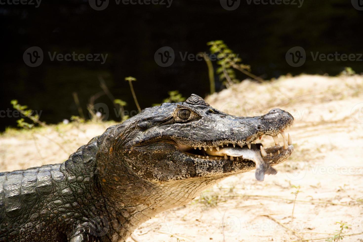 krokodil met vis foto