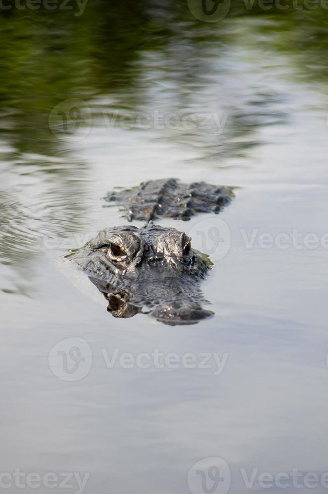 Amerikaanse alligator foto