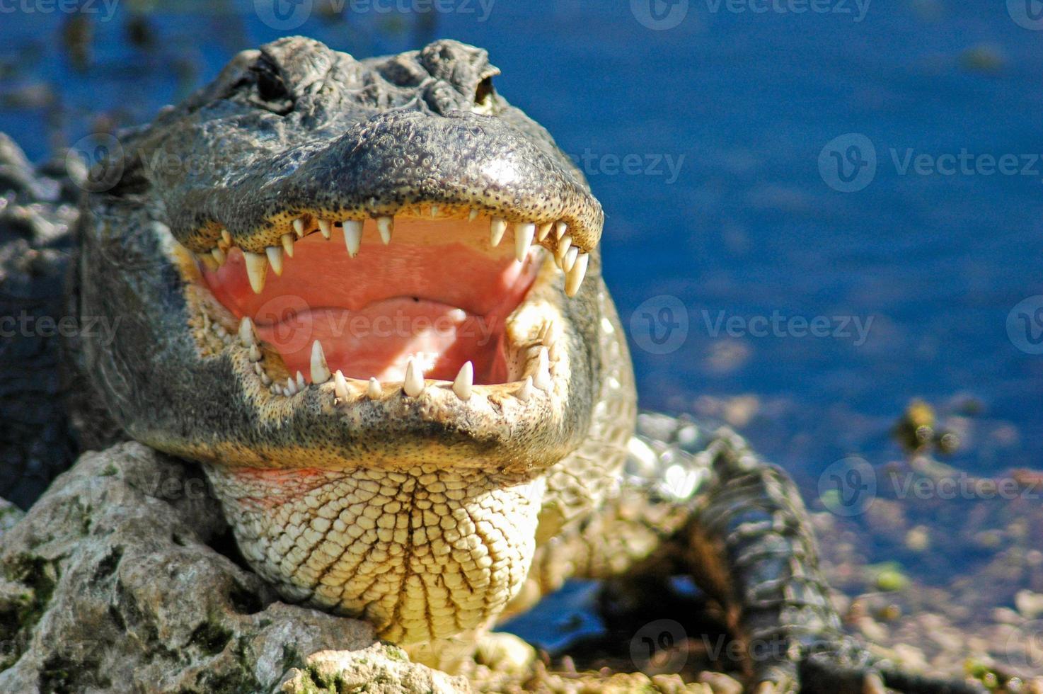 een alligator met open mond, everglades national park foto