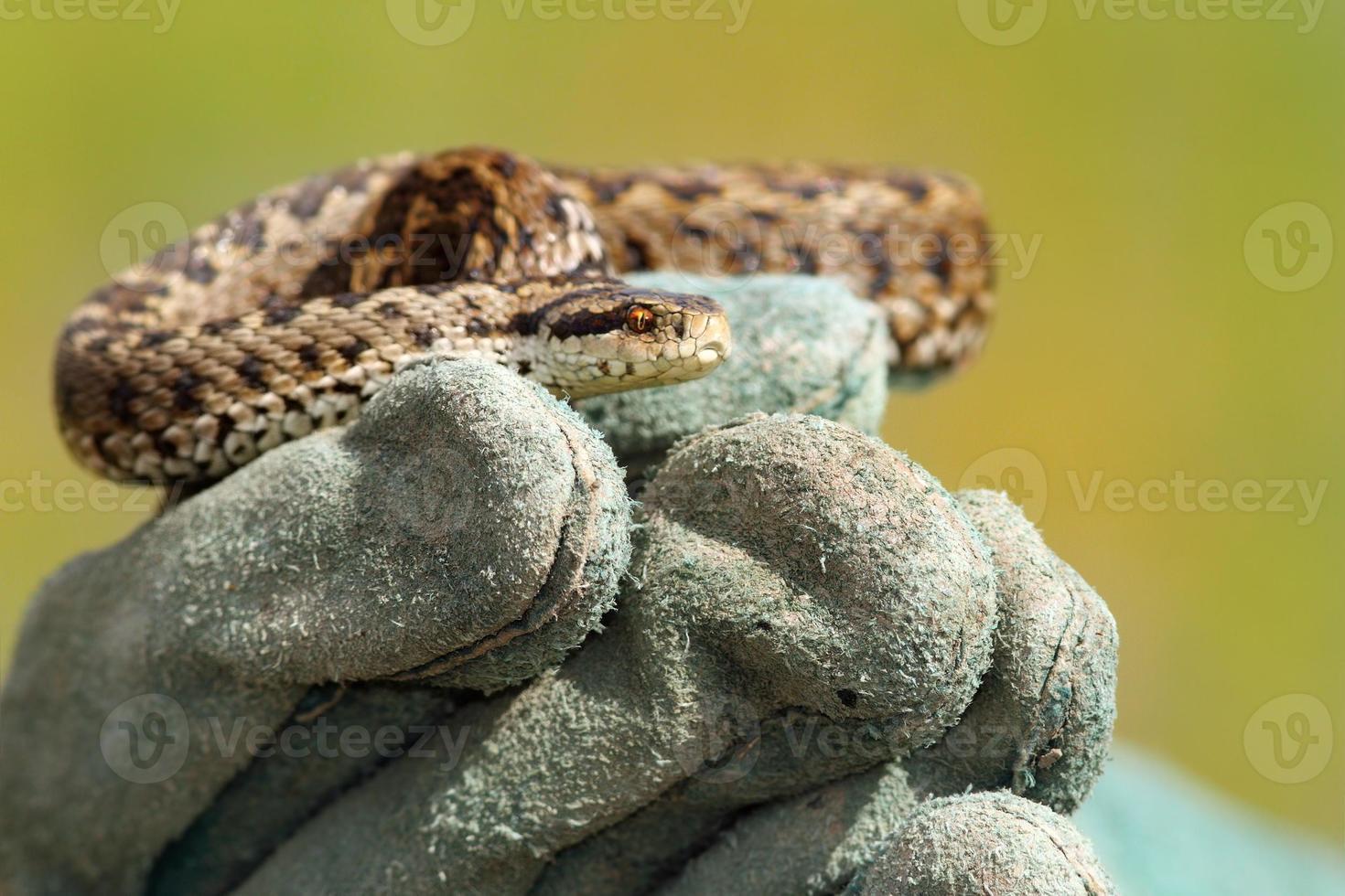 weideadder op handschoen foto