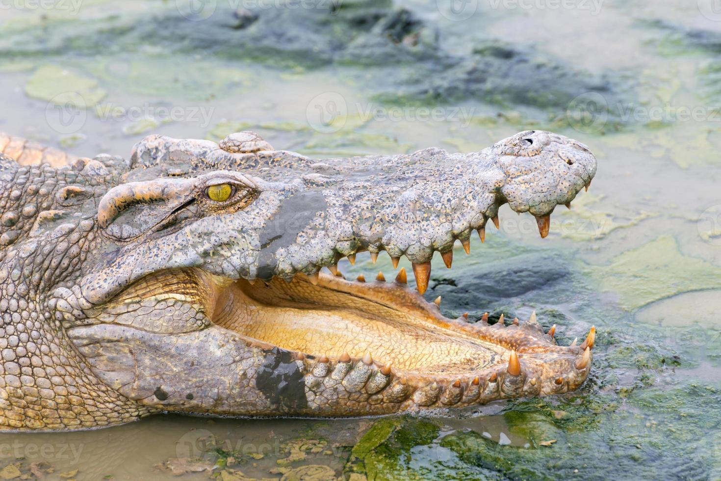 wildlife krokodil in het water foto