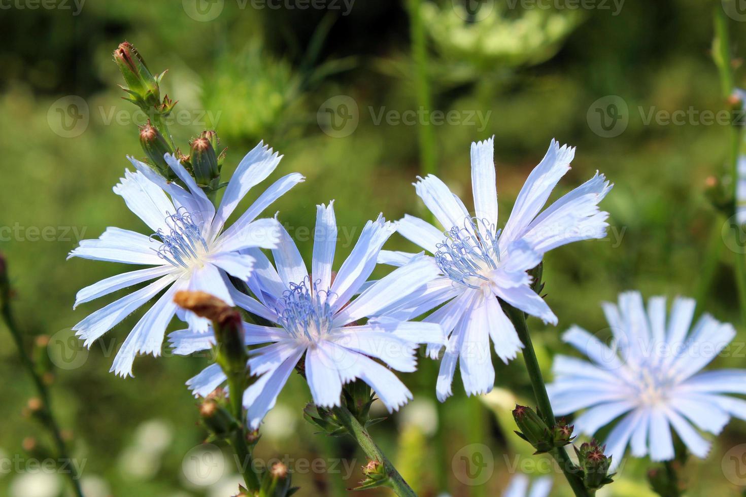 blauwe bloemen van cichorium foto