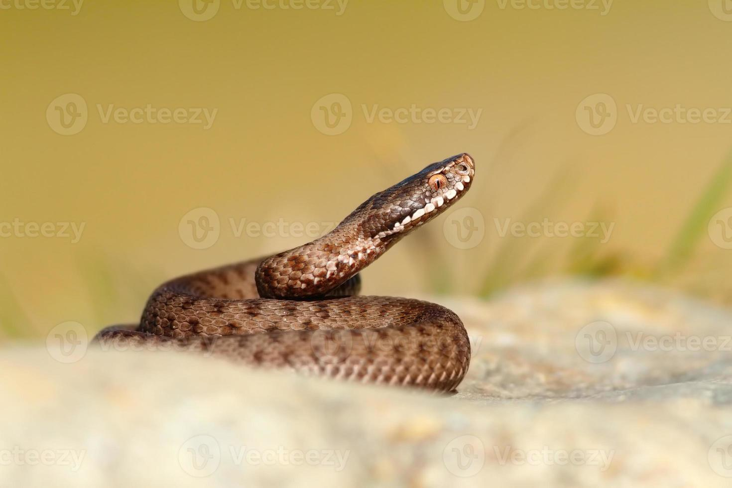 prachtige reptielen vipera berus foto