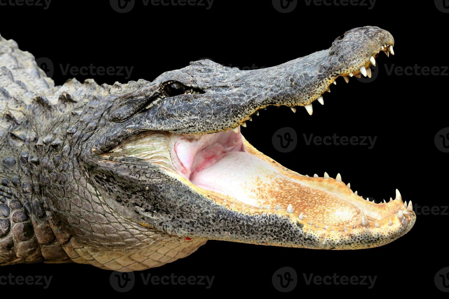 alligator met open mond foto