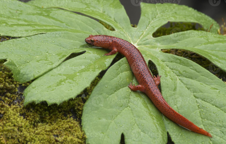 zwarte lippen salamander zittend op een groen blad. foto