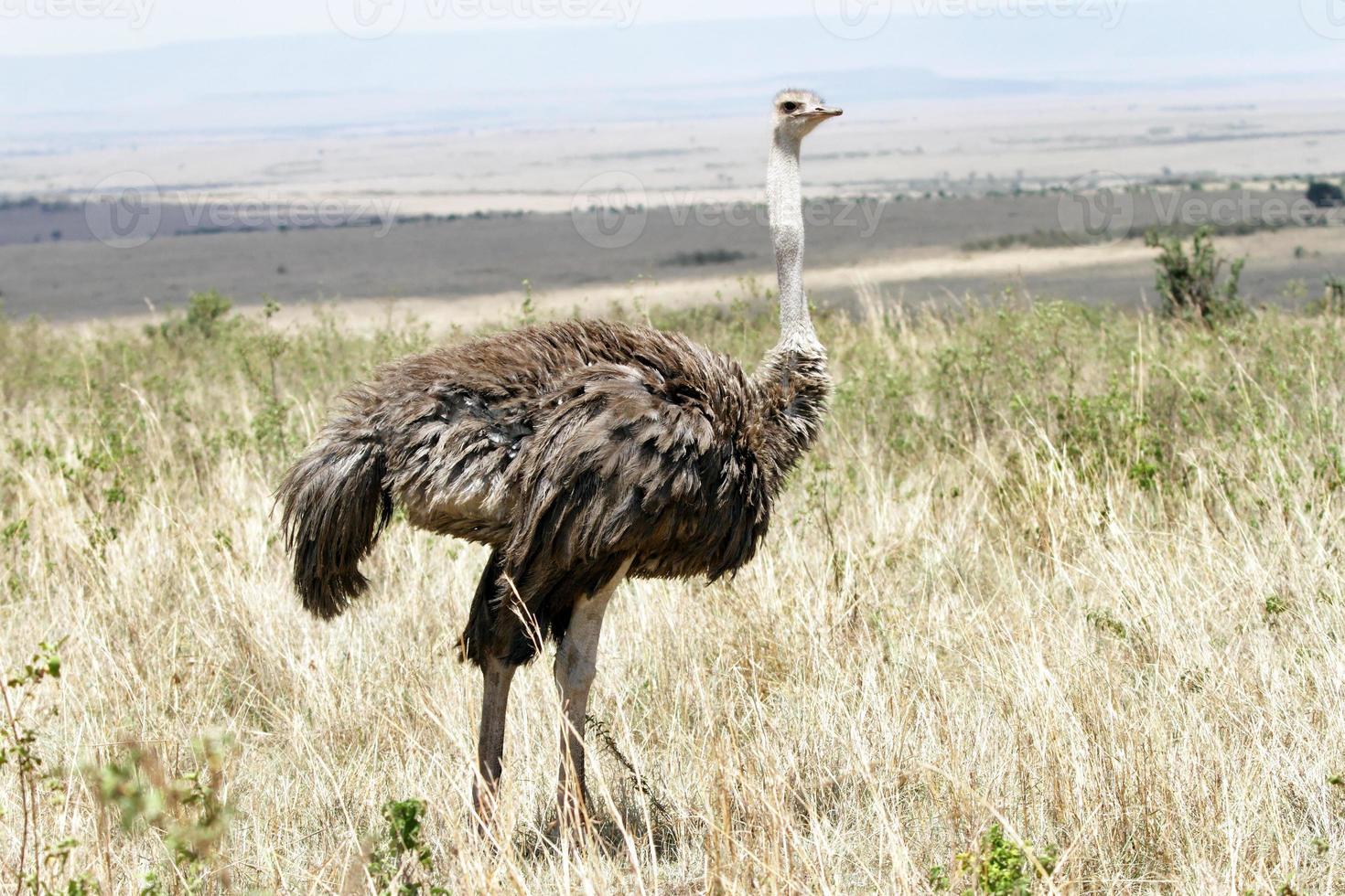 mooie vrouwelijke struisvogel, masai mara, kenia foto