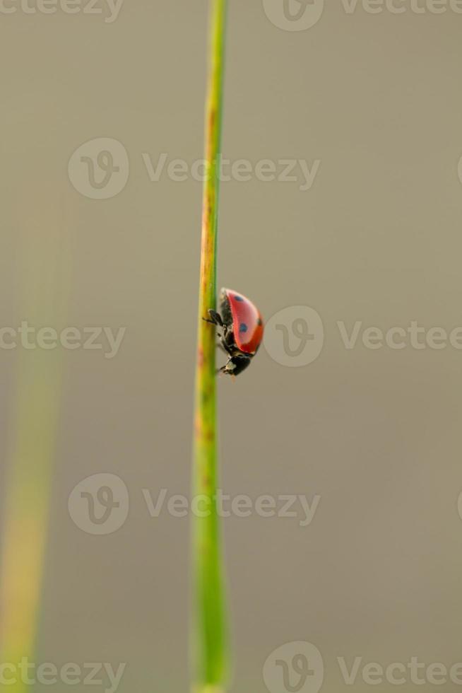 lieveheersbeestje op weg naar beneden foto