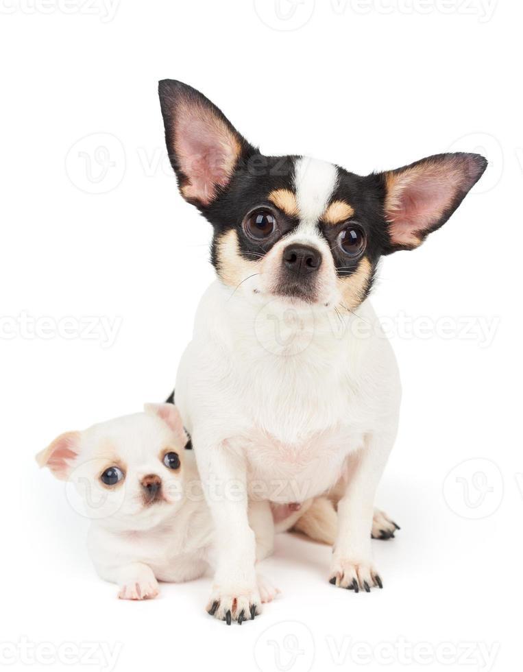 chihuahua en zijn puppy foto