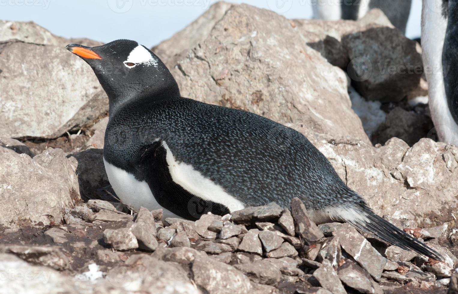 Ezelspinguïn vrouw zittend op het nest. foto
