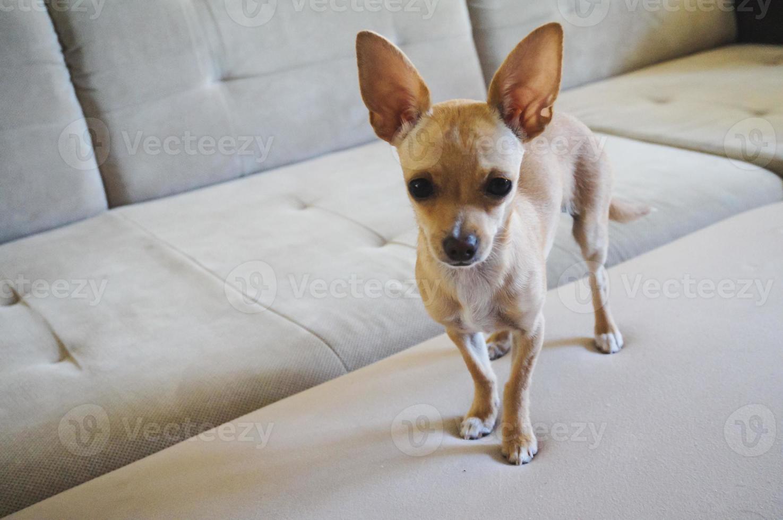 chihuahua hond foto