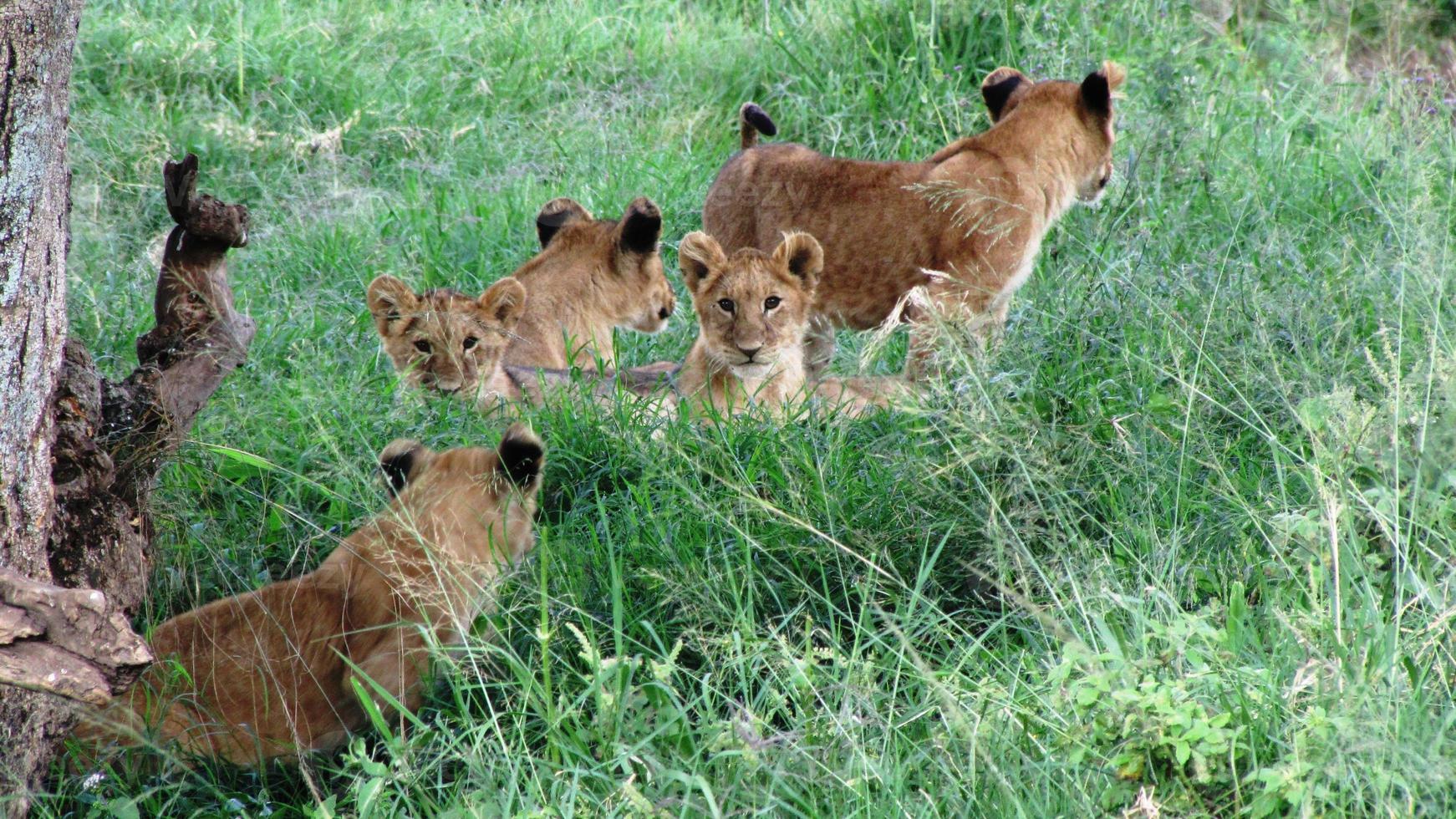 dieren in het wild, Masai Mara National Reserve, Kenia foto