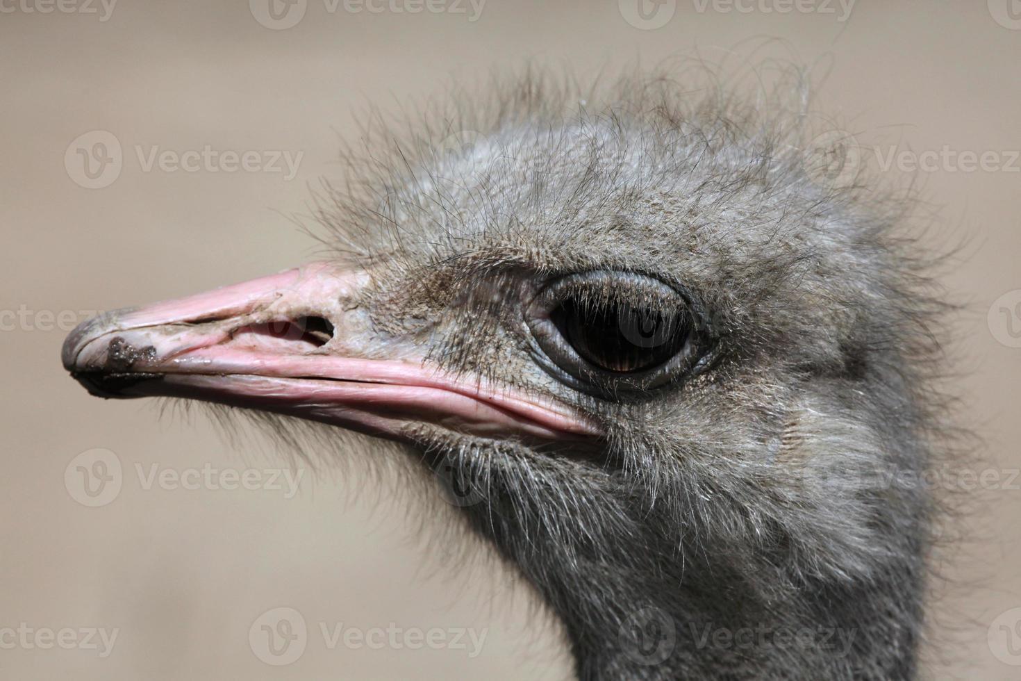 struisvogel (struthio camelus). foto