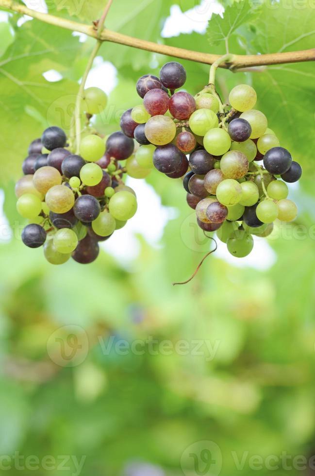 rode druif en groene druif foto
