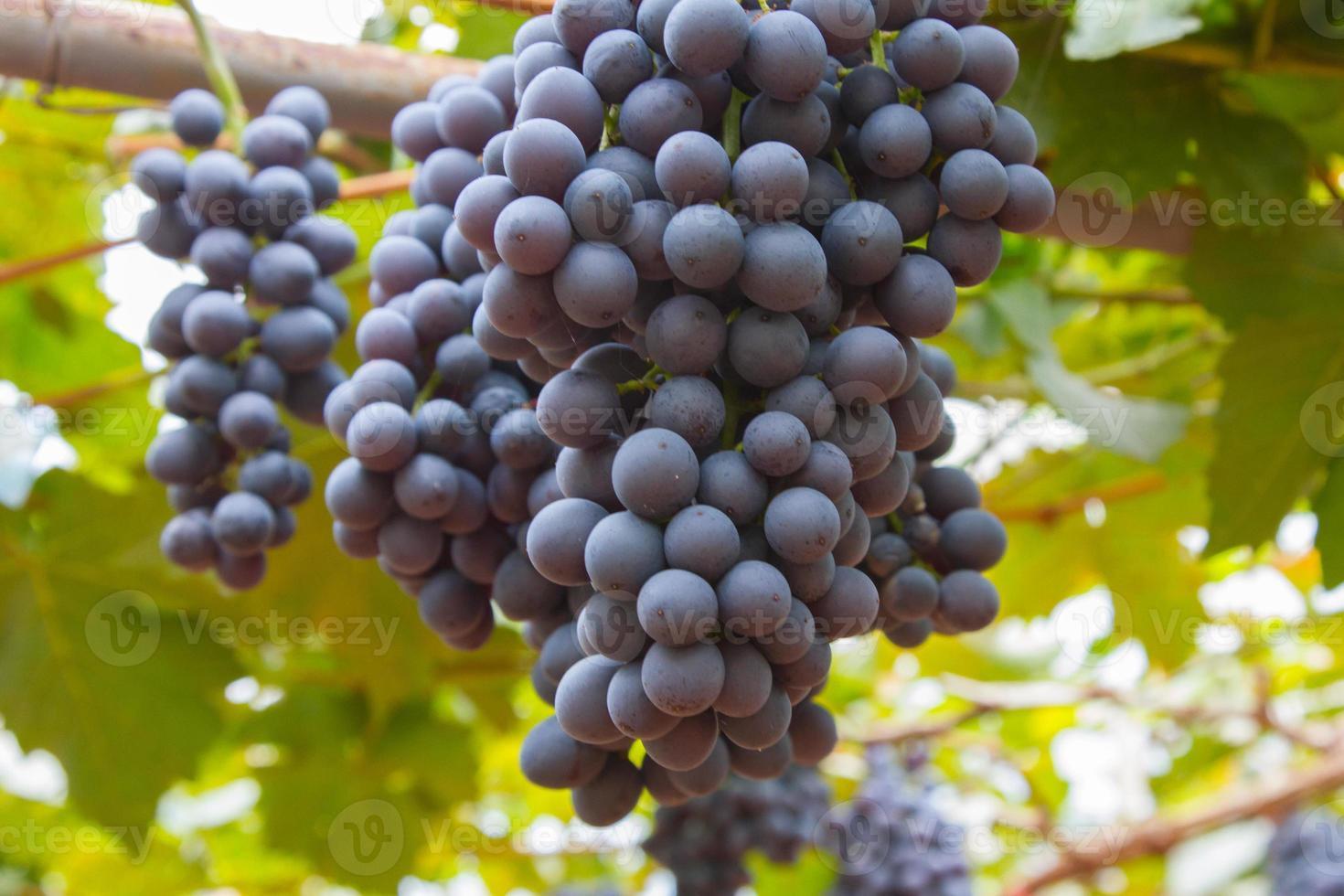 druiven in de tuin foto