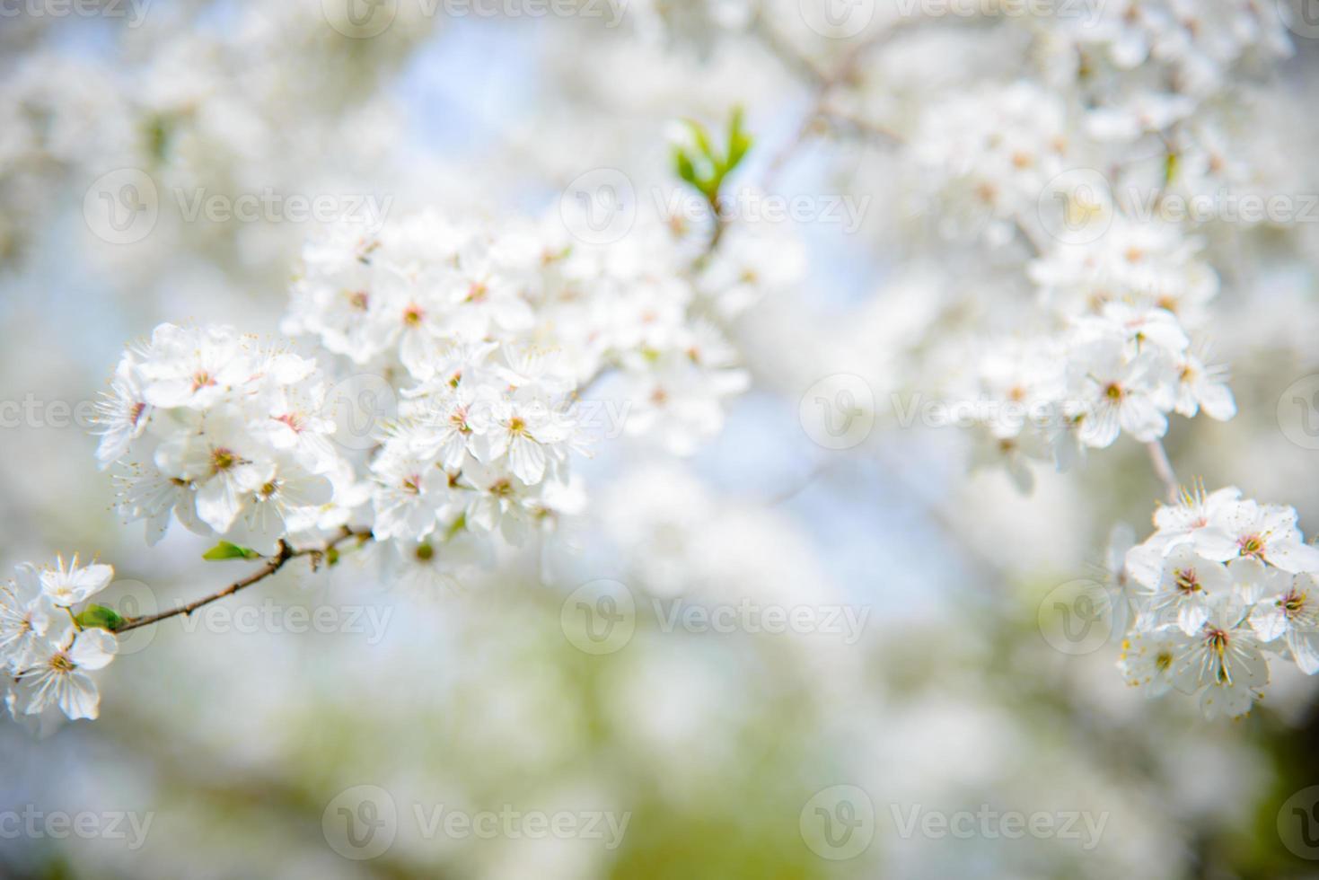 pruimenbloesem in het voorjaar foto