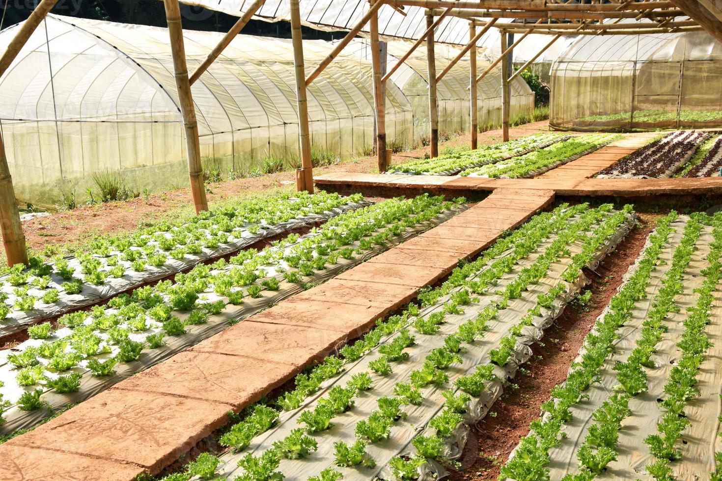 verse sla groeit in een hydrocultuur systeem in de kas foto