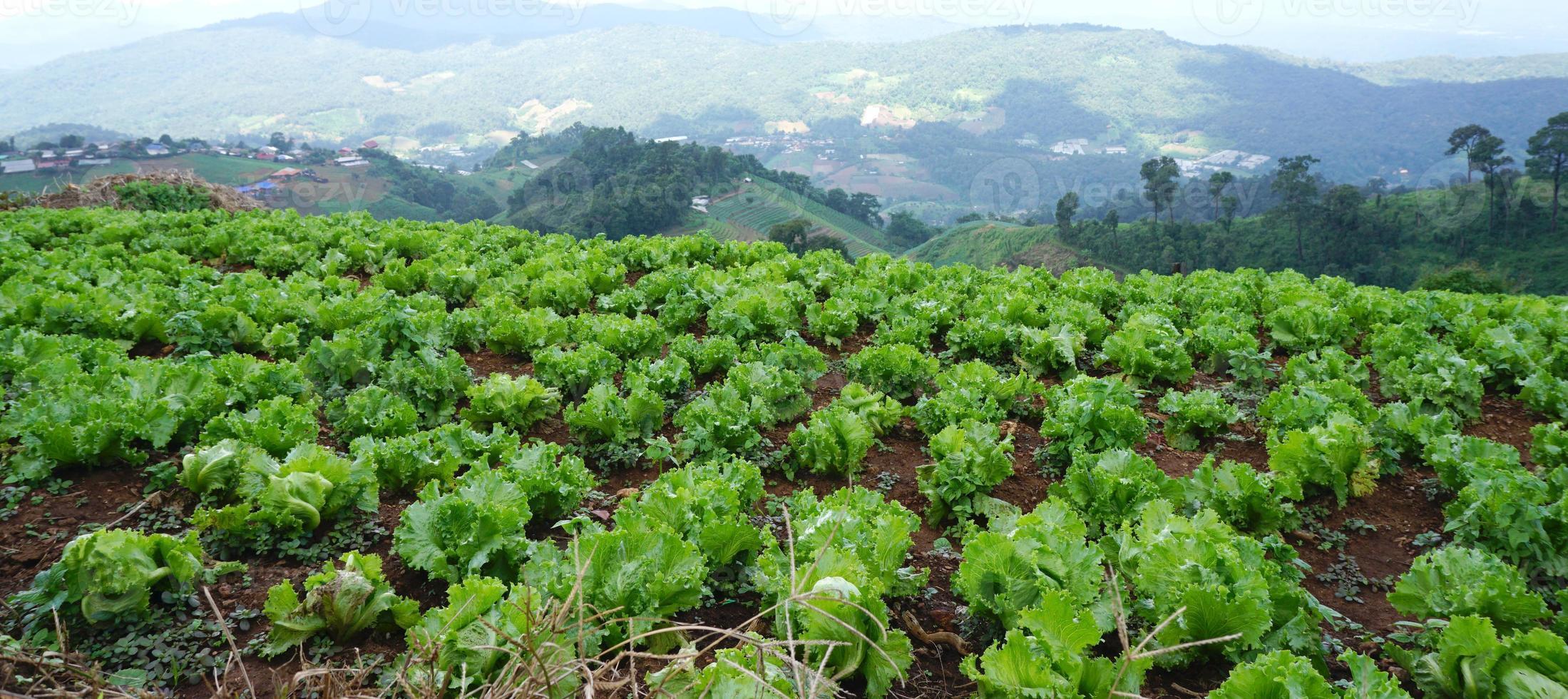 verse groene sla op de grond in de boerderij foto