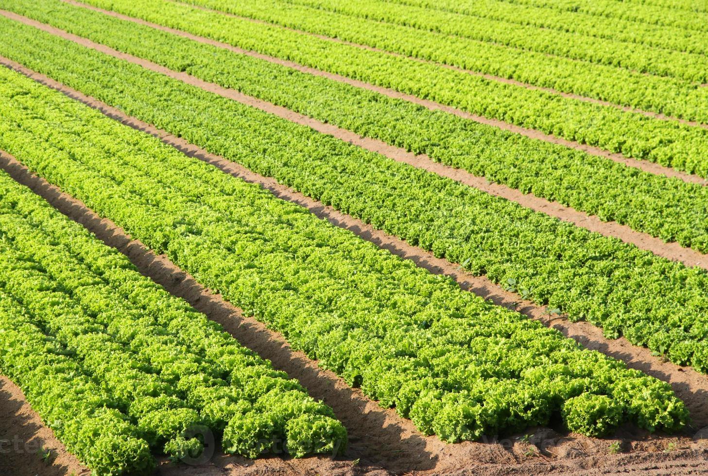 salade veld op een boerderij in Italië foto