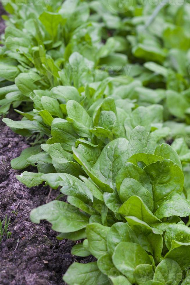 salat bieten foto