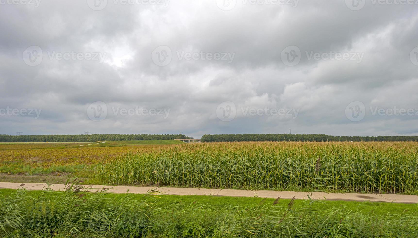 maïs groeit op een veld langs een pad in de zomer foto