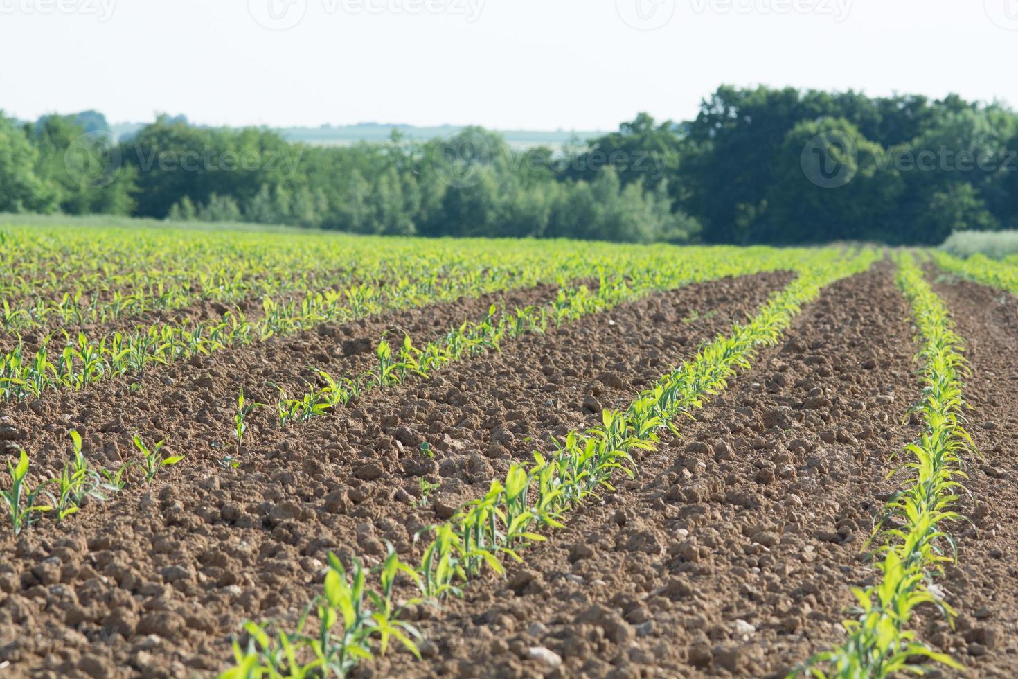 korenveld met bos foto