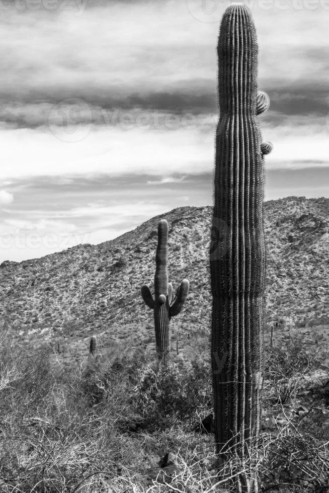 woestijncactus foto