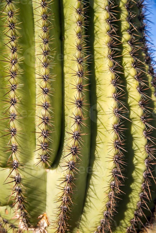 saguaro cactus stekels foto