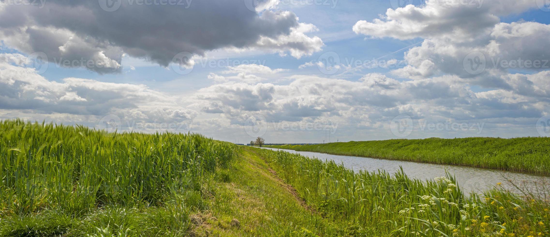 groene tarwe groeit op een zonnig veld in het voorjaar foto