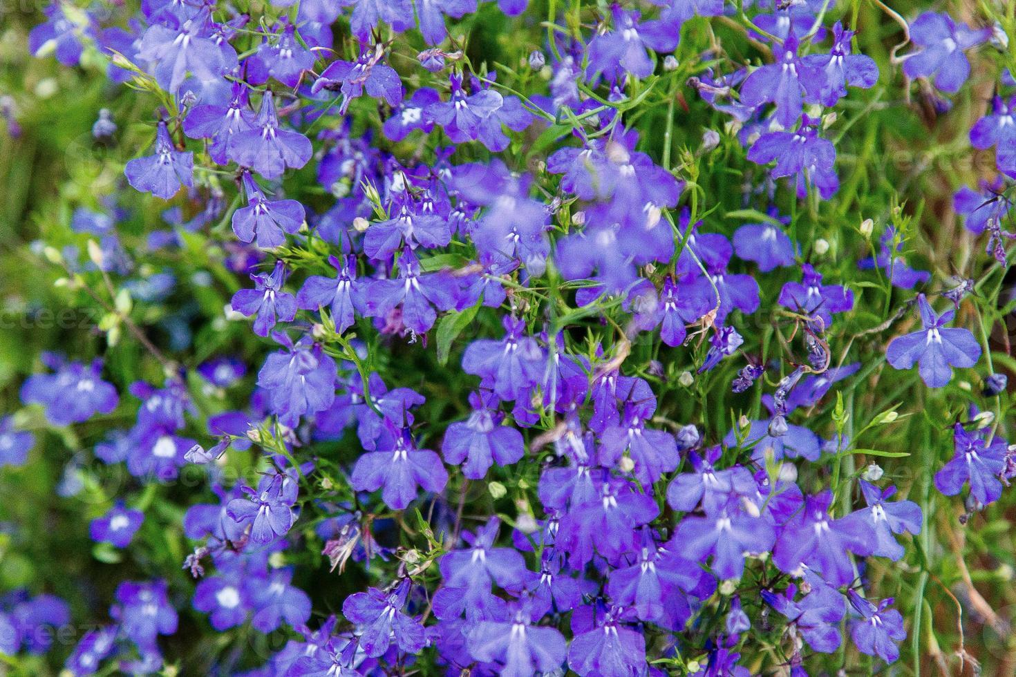 achtergrond van prachtige bloemen - fundo de belas flores foto